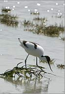 Avocets and Ruff